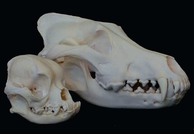 Pug skull (foreground) and gray wolf (background).